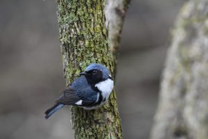 Photo of a Black-throated Blue Warbler on a tree branch.