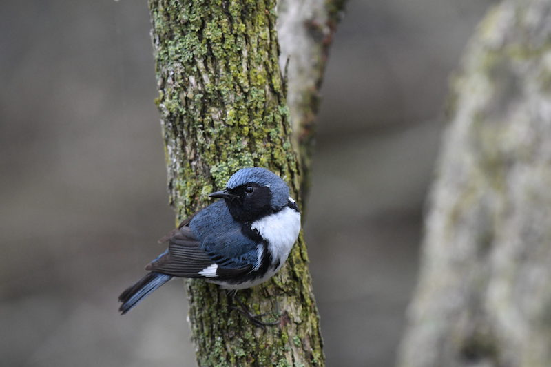 Small blue bird with white on its breast and a black stripe around its neck.