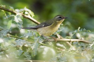 A female black-throated blue warbler perched on a branch.