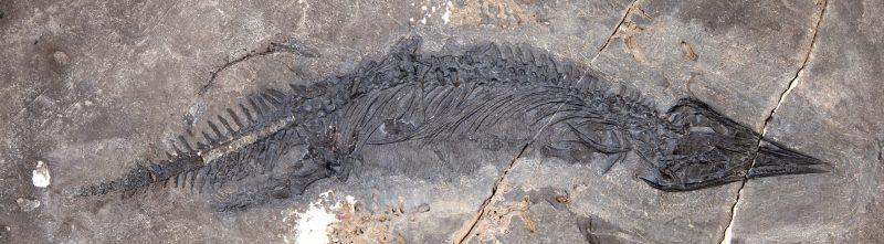 Long, lizard or alligator-shaped fossil skeleton in rock.
