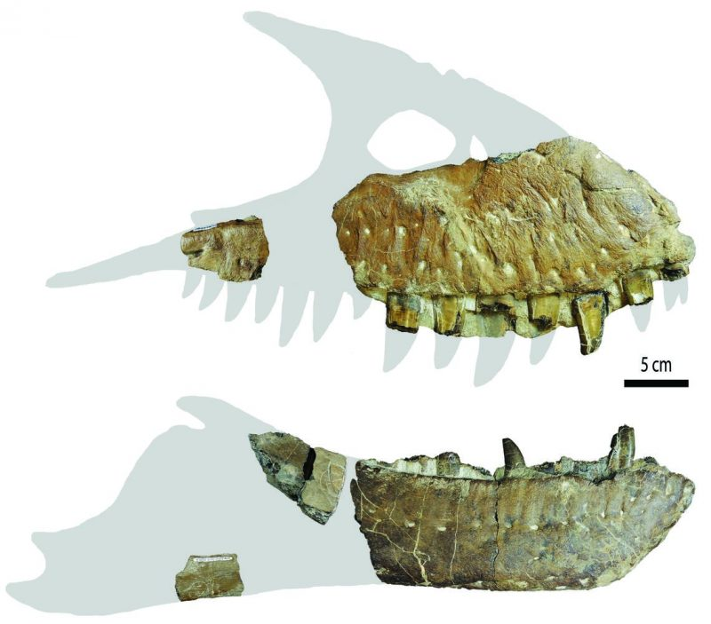 Partial jawbone fossils shown against outline of complete jaw.
