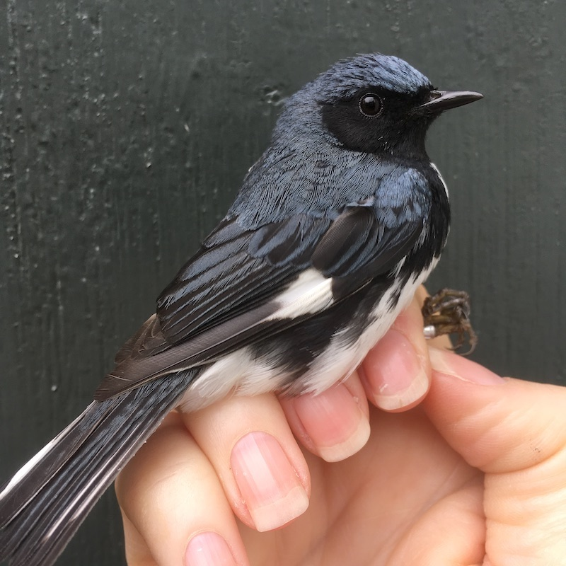 Closeup of a black-throated blue warbler held in the hand of a bird bander.
