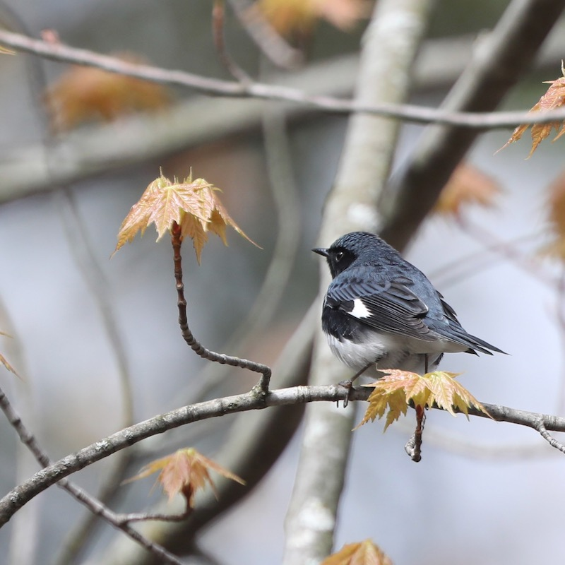 Small blue and white bird, with a black throat.