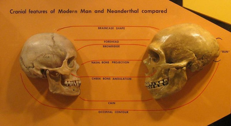 Two skulls. Left one rounder with smaller teeth and brow ridges and right one elongated and slightly larger.