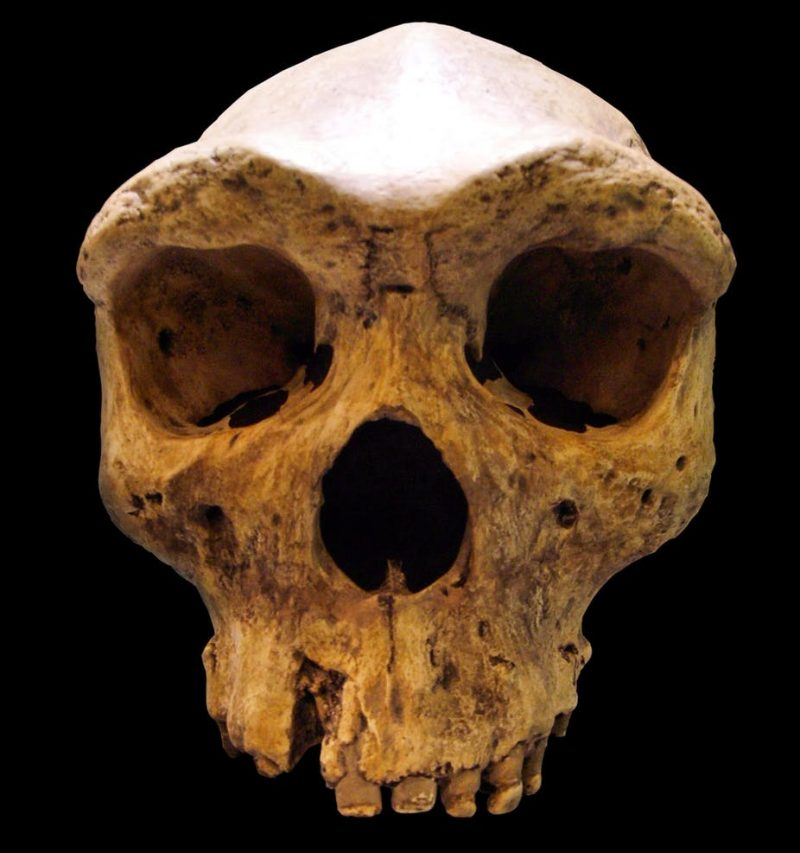 A human-like skull with a low cranium and very large ridges above the eye sockets.