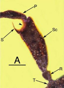 Microscope view of a segment of the bee's antenna, with labels.
