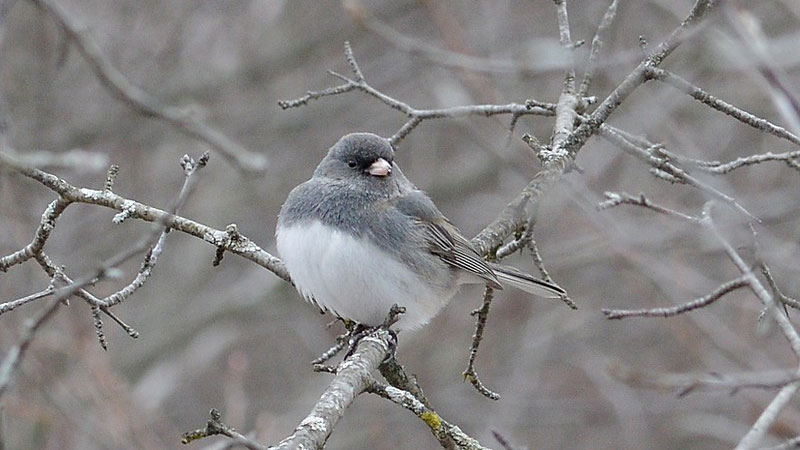 A small bird, gray back and white front, with black smudge around eyes, sitting on a bare twig.