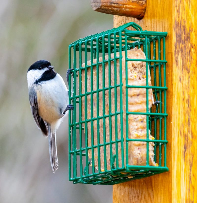Small black-headed bird perched on a green wire feeder with a yellowish slab in it.