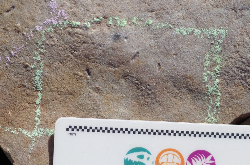 Piece of rock with tiny oblong impressions in it and a millimeter ruler for scale.