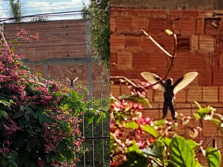 An example of pareidolia - a hummingbird resembling a flying little man - a fairy