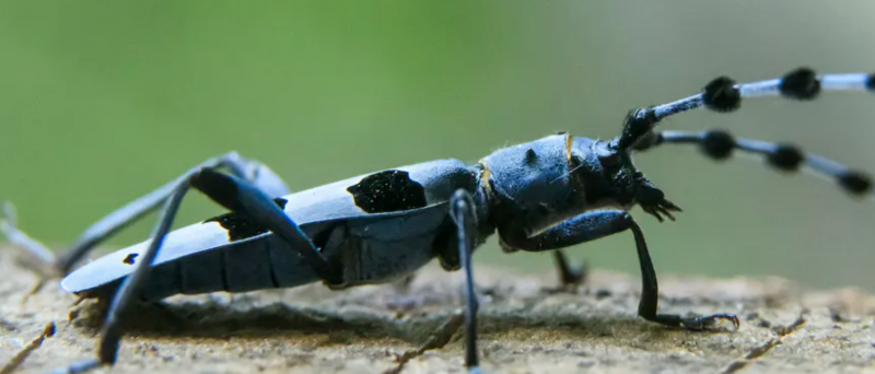 A long, spotted, blue beetle-like insect with little black spheres along its antennae.
