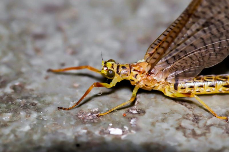 Spotted yellow-orange insect with long legs and large wings.