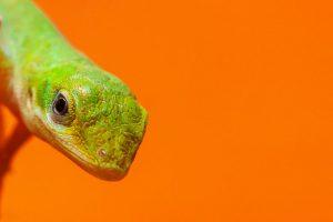 Green anole head on orange backgtound.
