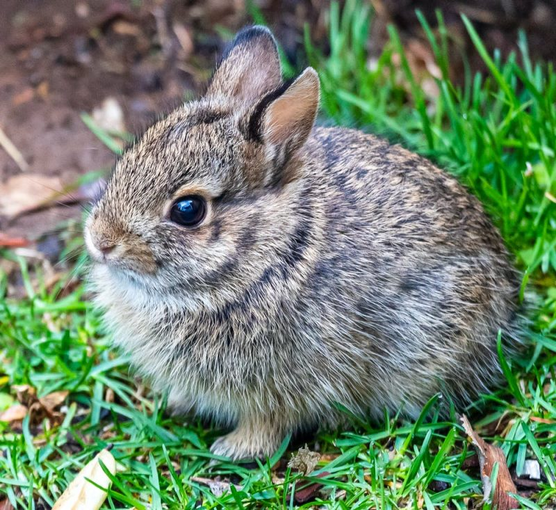 Baby rabbit crouching in short grass.
