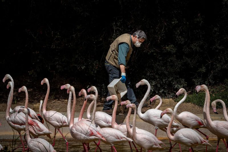 A mask-wearing man pouring out feed for a flock of long necked, long legged pink birds (flamingos).