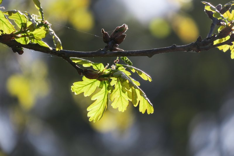 Spring-green oak leaves in sunlight.