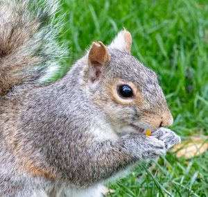 Squirrel with notched ear eating something.