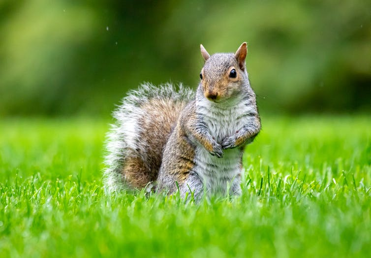 A small, furry, bushy-tailed squirrel standing in short grass