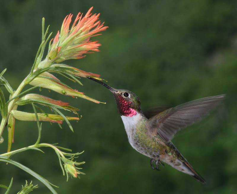 Hummingbird with a magenta throat, feedling from a spiky orange flower.