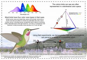 Infographic showing the range of colors seen by hummingbirds.