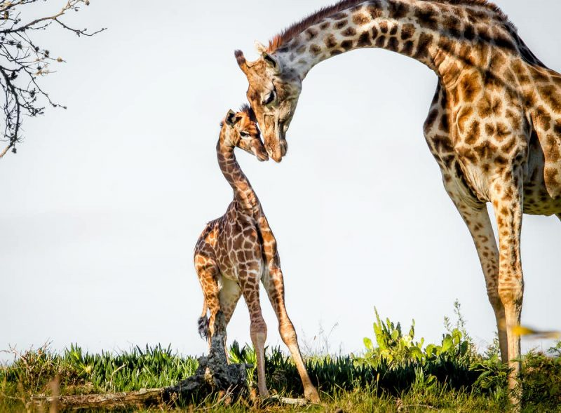 A mother giraffe touching heads with a small juvenile giraffe.