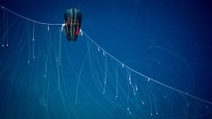 A dark red ctenophore, a type of jellyfish, hangs in the water with tentacles spread out to trap prey.