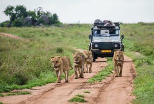 Four lions walking down a road followed by a jeep.