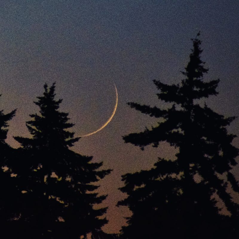 Thin waxing crescent moon, setting amongst evergreen trees.