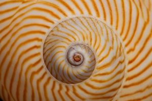 Spiral pattern in shell with radiating lines.