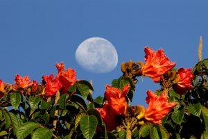 Bulging white moon in blue sky over orange-red flowers.