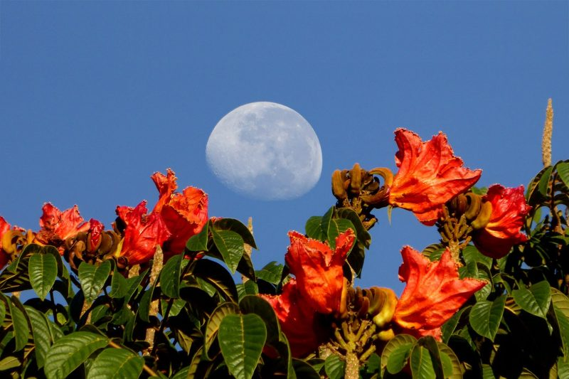 Bulging white moon in blue sky over orange-red flowers.