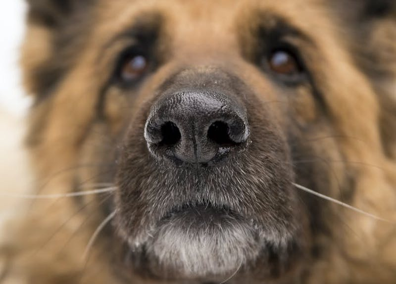These dogs are trained to sniff out the coronavirus | Human World | EarthSky
