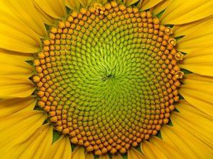 Closeup of complex center of yellow flower.