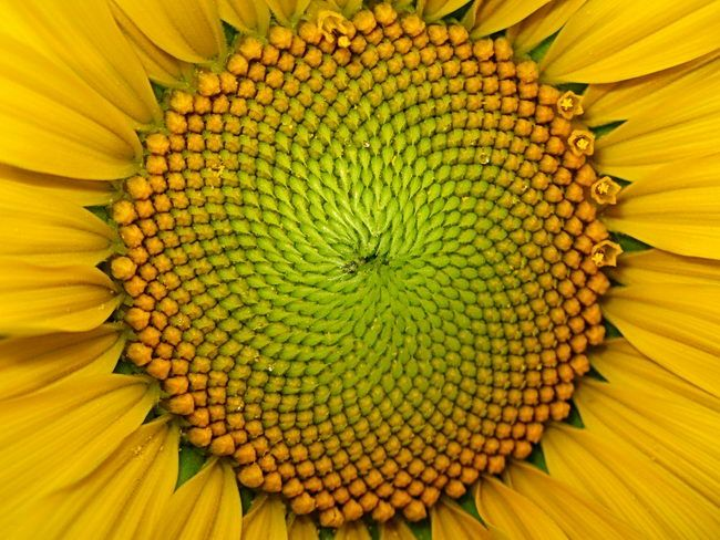 Closeup of complex center of yellow sunflower with hundreds of very small close-packed buds in spiral lines.
