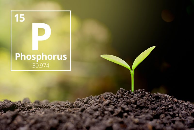 Small green seedling in dirt, with large letter P, word phosphorus, and numbers inside a square next to it.