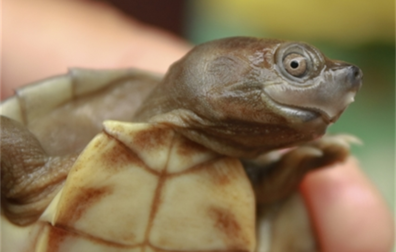 Closeup of head of small smiling turtle held in someone's hand, eyeing the camera.