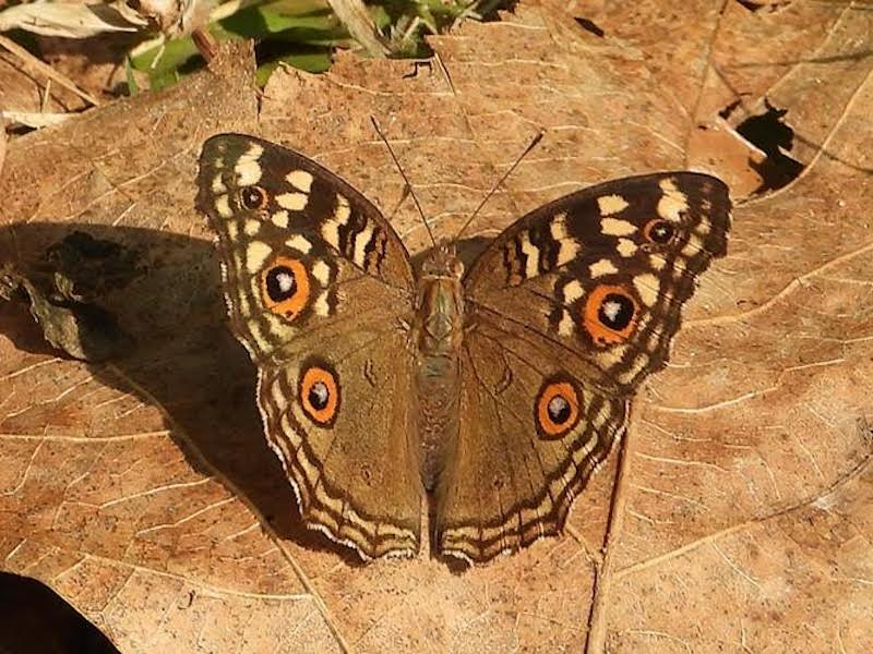 Brown and yellow butterfly with four 'eye spots' on its wings.