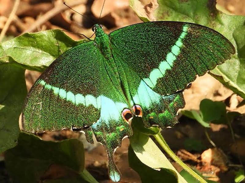 Brilliant green butterfly with pale green transverse stripe and 'eye spots' on wings.