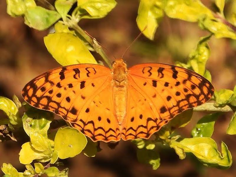 Orange butterfly with small black markings on wings.