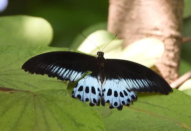 Black butterfly with wide blue area on trailing edges of wings.