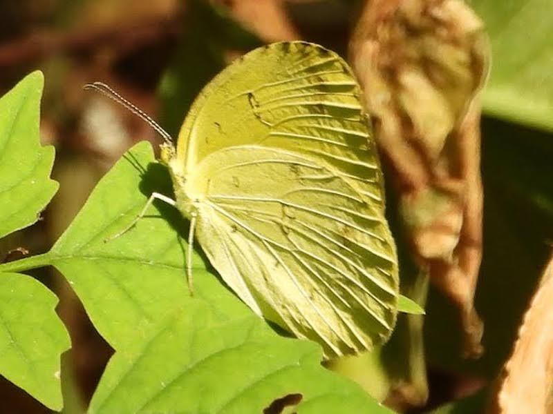 Pale greenish yellow butterfly with prominent wing veins sitting on a leaf.
