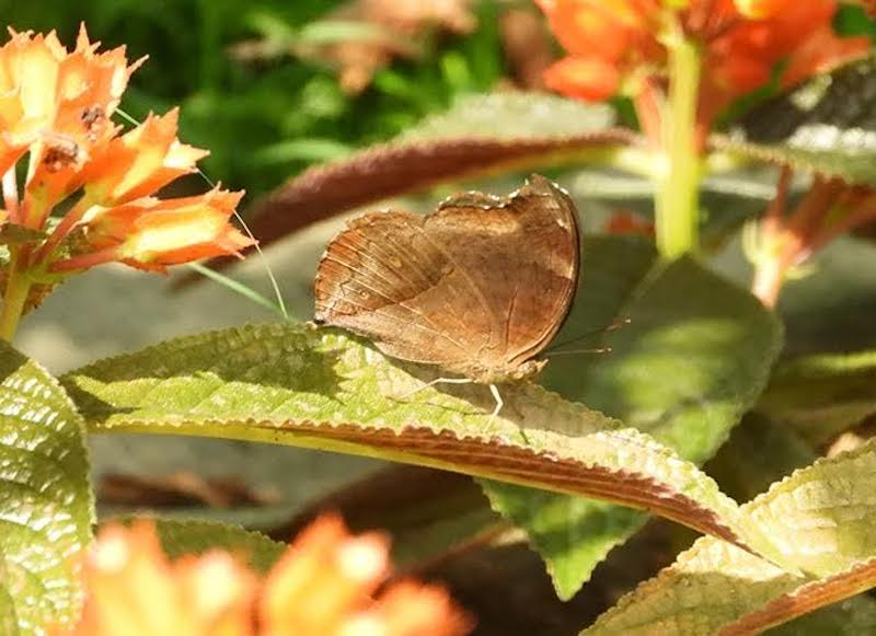 Pale brown butterfly sitting on a leaf.