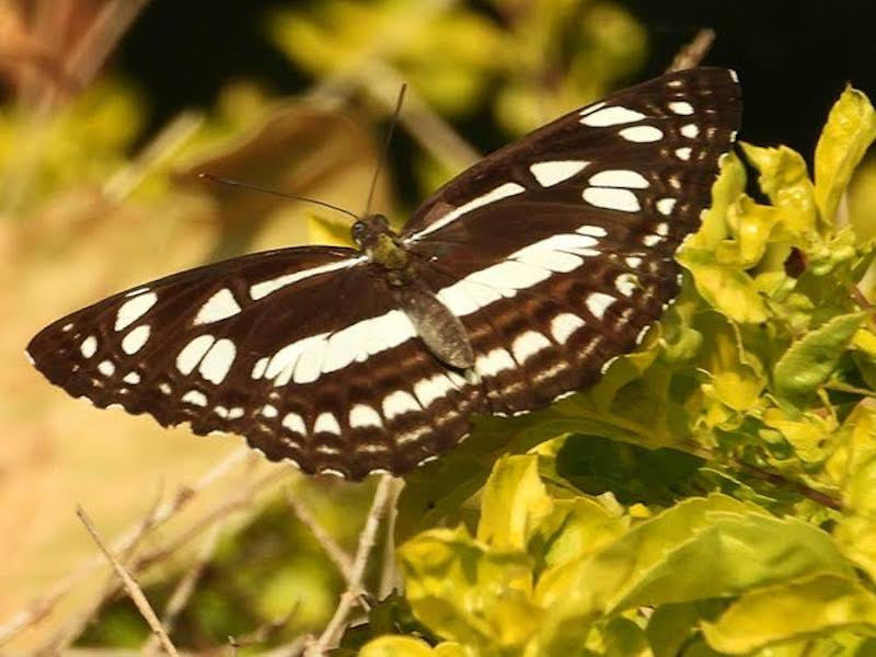 Deep brown butterfly with wide pale yellow stripes on outstretched wings.