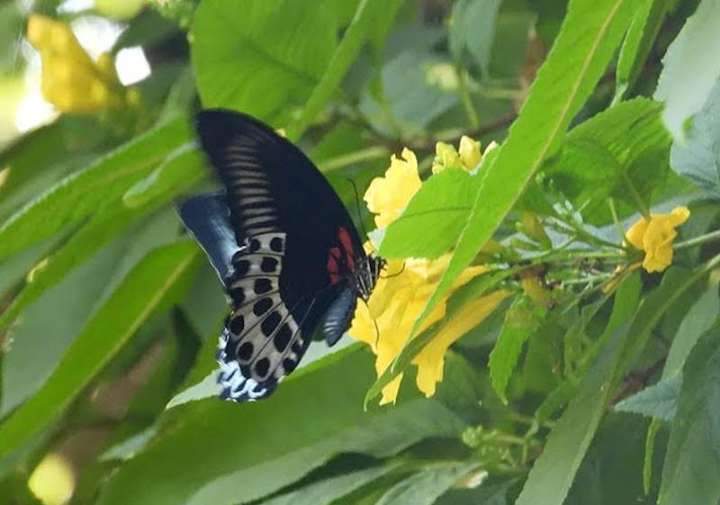 Black butterfly with wide blue area on trailing edge of wings, in flight.