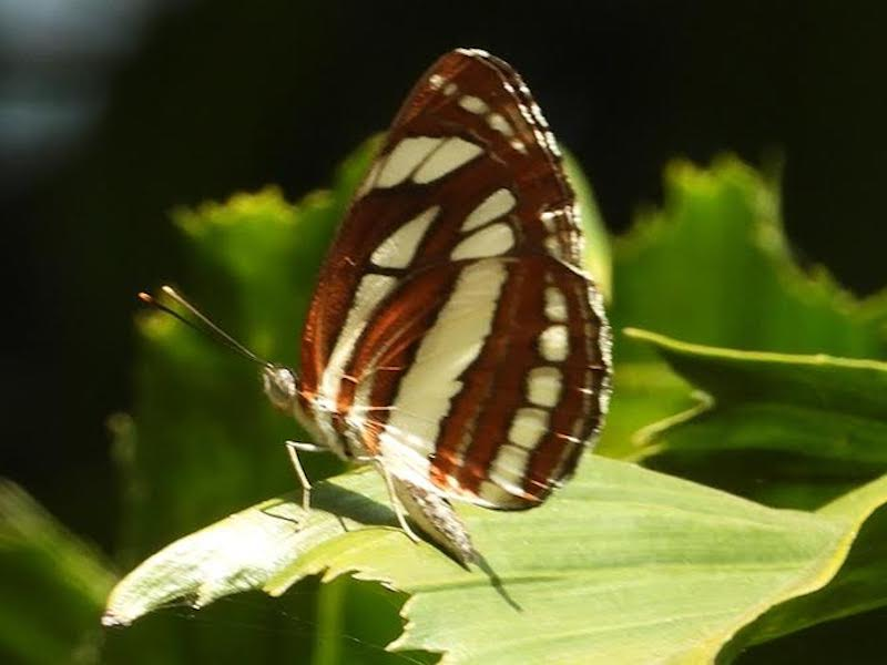 Sitting butterfly with russet and yellow striped wings.