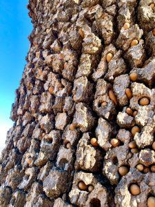 Tree bark, studded with acorns.
