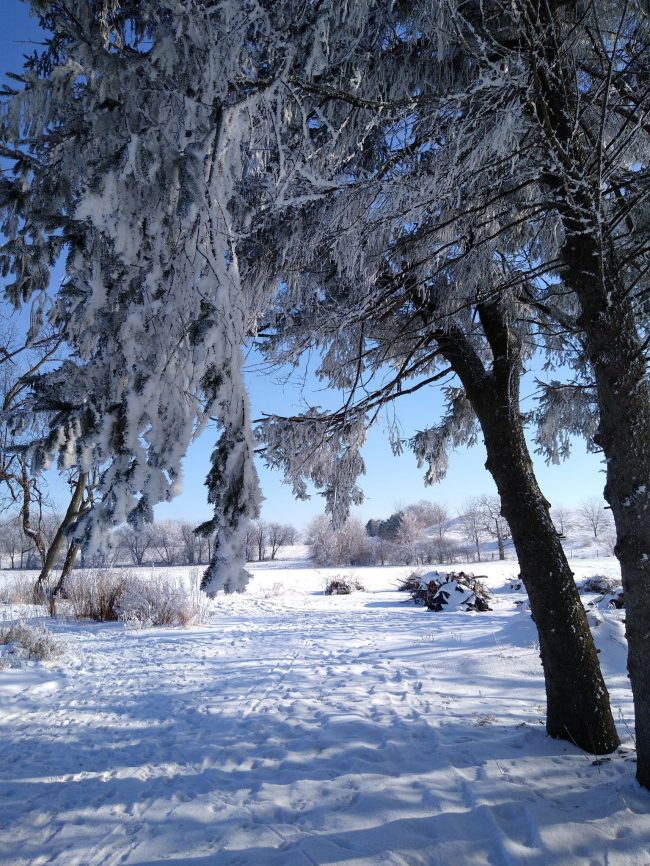 Very many drooping frost-laden branches amid a snowy scene.