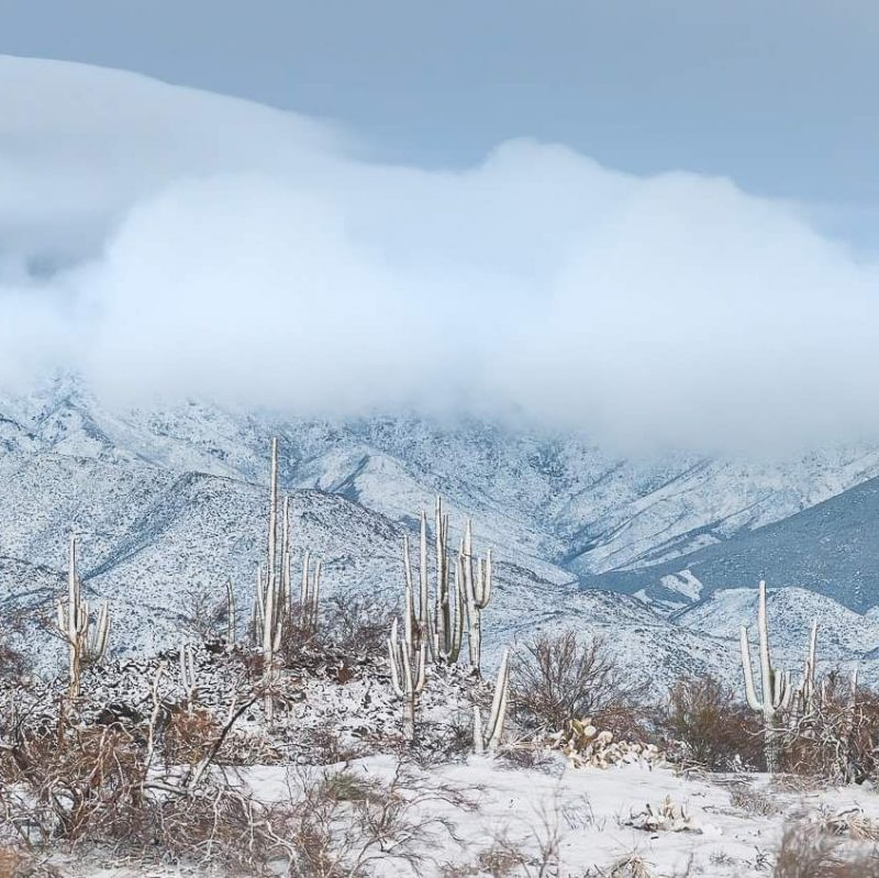 Snow covers mountains and tall finger-like saguaro cacti on scrubby, snowy hillside.