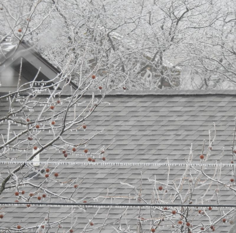 Tiny icicles on a power line amid tree branches with small round red seed pods.