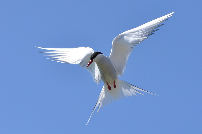 White bird with black cap, wings outspread in midair.